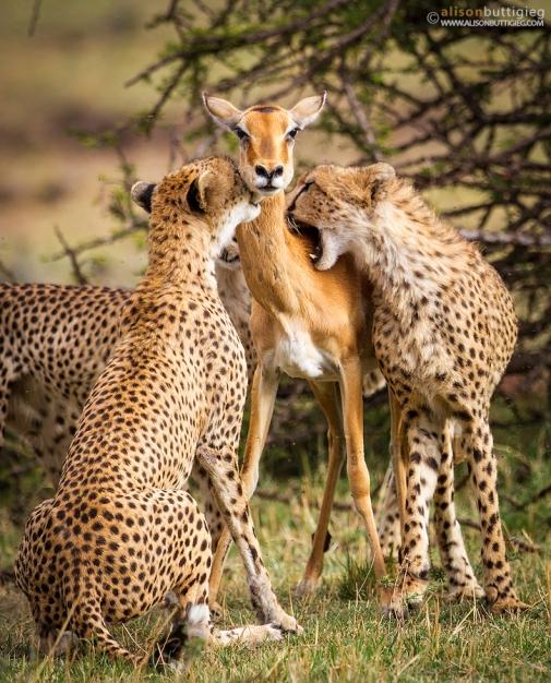 pict 6 - ketika Impala tegar dikeroyok cheetah - credit photo - Alison Buttigieg.jpg