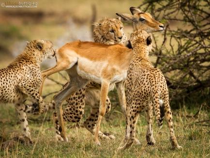 Saat Impala terjebak kawanan cheetah - credit photo Alison Buttigieg.jpg